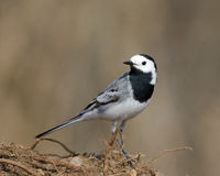 White Wagtail. On ground with roots Royalty Free Stock Images