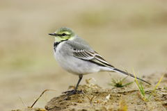 White Wagtail Royalty Free Stock Photography