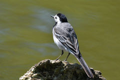 White wagtail. Is small songbird very ofen to see near the river Royalty Free Stock Photo