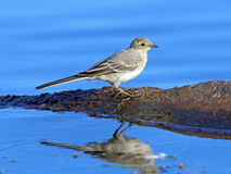 White wagtail against blue water. Motacilla alba. A white wagtail on the bank of the lake at evening light Stock Image