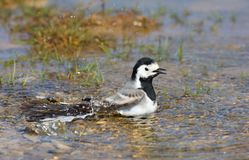 White wagtail bathing Stock Photo