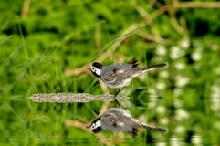 White Wagtail and the beauty of nature Stock Photo