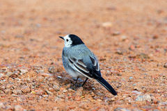 White wagtail from behind Royalty Free Stock Photography