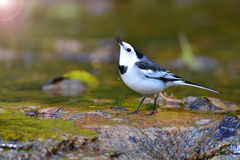 White Wagtail bird Stock Photo