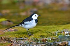 White Wagtail bird Stock Image