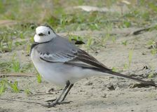 The white wagtail. Bird - White wagtail. Binomial name - Motacilla alba. Also known as pied or water wagtail. Family - Motacillidae. Location Dibrusaikhowa stock images