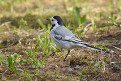 White Wagtail Bird on Forest Ground Stock Images
