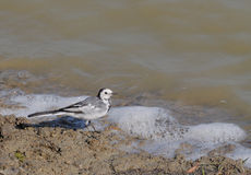 White Wagtail Bird (Motacilla alba dukhunensis). Walking on riverbed Stock Image