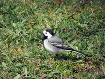 White wagtail bird Stock Photos