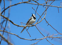 White wagtail bird sits on tree branch in spring Stock Images