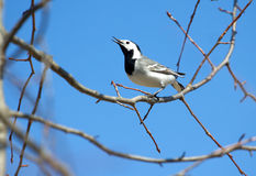 White wagtail bird sits on tree branch in spring. White wagtail bird sits on tree branch and sings over cloudless blue sky in spring Royalty Free Stock Photo