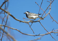 White wagtail bird sits on tree branch in spring. White wagtail bird sits on tree branch and sings over cloudless blue sky in spring Stock Photo