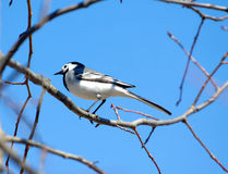 White wagtail bird sits on tree branch in spring. White wagtail bird sits on tree branch and sings over cloudless blue sky in spring Royalty Free Stock Image