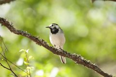 White wagtail bird sits on tree branch Stock Images