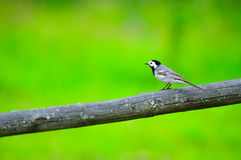 White Wagtail Bird Sitting on Perch Stock Photo