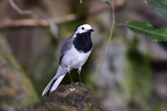 White wagtail bird. Is small passerine bird in the wagtail family Motacillidae Royalty Free Stock Photography