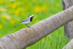 White wagtail bird. White wagtail in spring outdoor Royalty Free Stock Images