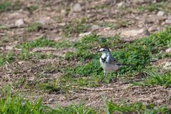 Close-up photography of young beautiful white wagtail or Motacil Royalty Free Stock Images
