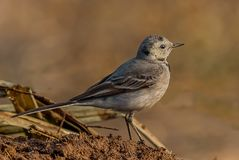 White wagtail bird Royalty Free Stock Photography