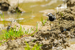White wagtail with blue butterflies. At the river Stock Image