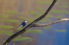 White Wagtail on branch Royalty Free Stock Images