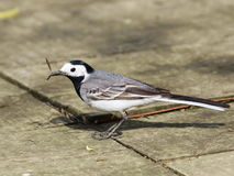 White Wagtail with catch. Motacilla alba Royalty Free Stock Image