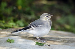 White Wagtail chick Royalty Free Stock Images