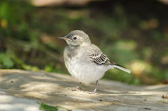 White Wagtail chick Royalty Free Stock Photos