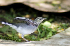 White Wagtail chick trying to fly Stock Photo