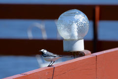 White Wagtail in the city Royalty Free Stock Photos