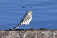 White wagtail close up. Motacilla alba. A white wagtail on the bank of the lake at evening light Stock Image