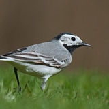 White wagtail in close-up (motacilla alba). Close-up on white wagtail (motacilla alba) male in Sweden looking for insects in the grass to their kids Royalty Free Stock Photography