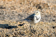 White wagtail. Close-up photography of young beautiful white wagtail (Motacilla alba Stock Photos