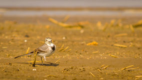 small white bird, White Wagtail Stock Photography