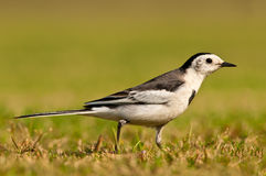 White Wagtail closeup Stock Image