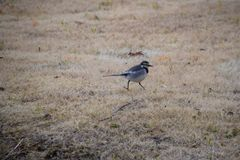 White wagtail. Cute little bird `White wagtail Stock Photography