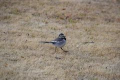 White wagtail. Cute little bird `White wagtail Stock Image