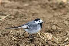 White wagtail. In the Danube Delta, Romania Stock Images