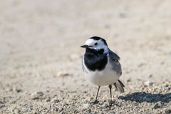 White Wagtail in the Danube Delta, Romania. White Wagtail - Motacilla alba - in the Danube Delta, Romania. White Wagtail - Motacilla alba standing on the ground royalty free stock photo