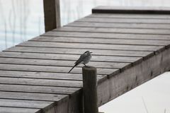White Wagtail On A Dock Stock Photos