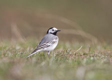 White Wagtail in early spring. Royalty Free Stock Images