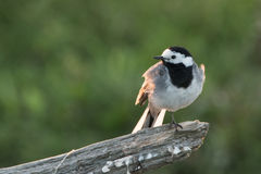 White wagtail Royalty Free Stock Photo