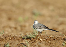 White wagtail in a farm land of Bahrain Stock Image