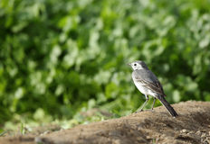 White wagtail female Royalty Free Stock Photo