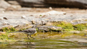A White Wagtail fishing Royalty Free Stock Images