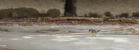 White Wagtail with foam Royalty Free Stock Images