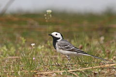 White Wagtail on grass. Motacilla alba Stock Images