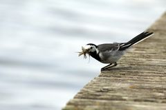 White Wagtail on lake. Finland. Dinner wagtail on the dock Stock Photo