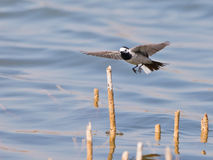 A White Wagtail landing Stock Photo