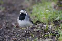 White wagtail. A white wagtail or in latin motacilla alba Royalty Free Stock Photo